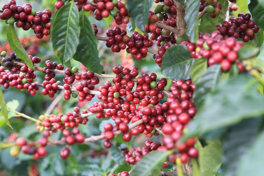 Pestovanie - kava panghon