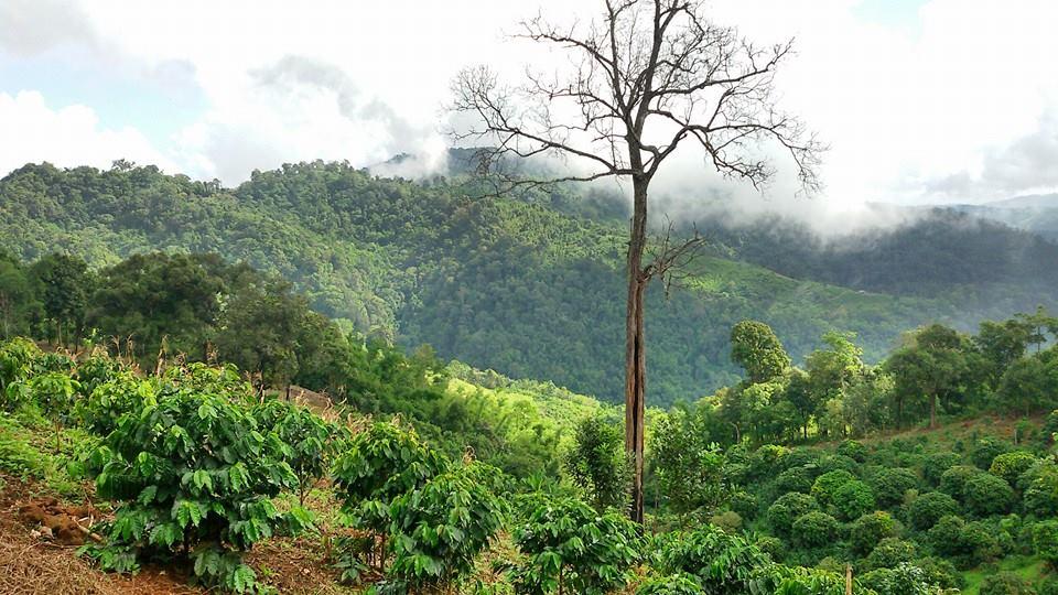 Oblasť pestovania kávy - Doi pangkhon